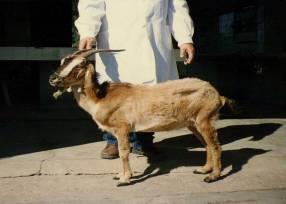 Foto Nº 20. Vista de perfil de una cabra con condición corporal muy deficiente. C.C. 1.
