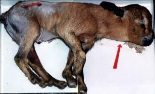 Foto Nº 21. Cabrito abortado con Bocio. Obsérvese áreas alopécicas.