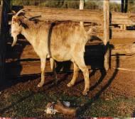 Foto Nª 3. Aborto en cabra por brucelosis, en una cabra con neumonía      Infectada por Brucella melitensis