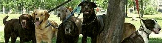 A-DOG WALKER 520x140