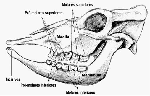 Figura 1 - Maxila y Mandíbula de bovino con los dientes Incisivos, Pre-Molares y Molares