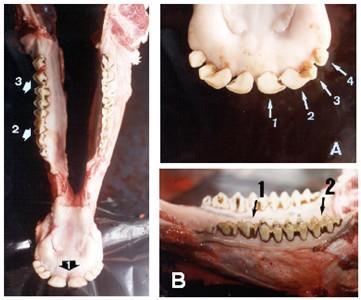 Figura 2 - Dientes heterodónticos de los bovinos: FOTO IZQUIERDA - Seta 1: dientes incisivos, Seta 2 - dientes pre-molares y Seta 3 - dientes molares. FOTOS DERECHA - A - Fase Lingual: Seta 1 - pinzas, Seta 2 - primeros medios, Seta 3 - segundos medios, Seta 4 - cantos; B - Face Bucal: Seta 1 - tres pre-molares y Seta 2 - tres molares (Foto: FAÍSCA  et al, 2002).