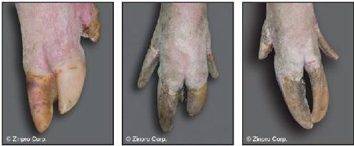 Figura 1. Ejemplos de uñas largas, uno de los problemas de pezuña más visibles en las cerdas reproductoras: leve (una o más uñas ligeramente más largas de lo normal, izquierda), moderado (una o más uñas significativamente más largas de lo normal, centro) y grave (uñas largas que afectan la marcha al caminar, derecha). (Fotos: Zinpro Corporation)