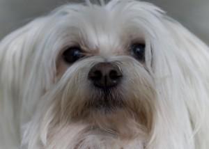 perro-blanco
