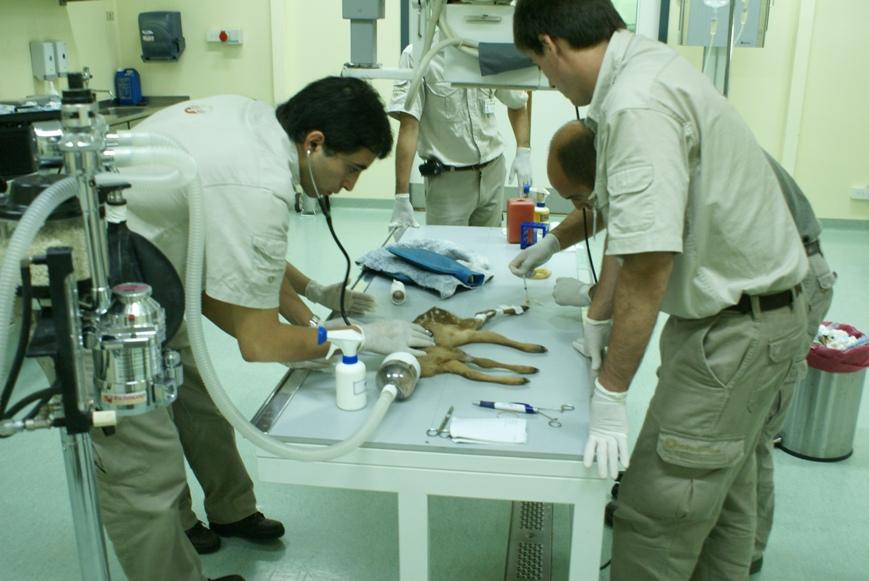 Izquierda Martin Gaubeca, Cuidador del Hospital Veterinario, derecha Dante Di Nucci Veterinario, al fondo Martín Falzone Veterinario, tratando una fractura en una corzuela.