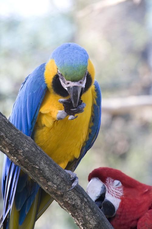 Guacamayo Azul y Amarillo - Ara ararauna
