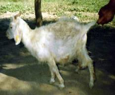 Foto Nº 14. Abdomen abultado en un cabrito con síntomas de teniasis.