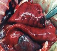 Foto Nº 2. Pulmón con lesiones hemorrágicas.