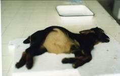 Foto Nº 7. Cabrito muerto por enterotoxemia.