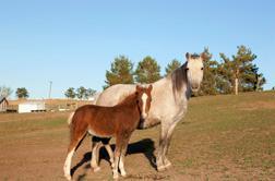 Una yegua y su potro, parte del grupo de los caballos usados en las investigaciones científicas. Los caballos se crían en la Unidad de Investigación de Enfermedades Animales específicamente para los estudios sobre Theileria equi.