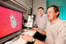 Entomólogo Glen Scoles (en primer plano) diseca una garrapata mientras líder de investigaciones Don Knowles observa el proceso