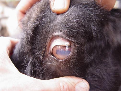 """Figura 3. Cabra adulta con una """"nube"""" en un ojo, compatible con una secuela de queratoconjuntivitis."""