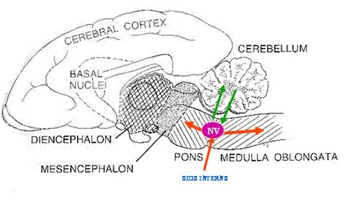 Fig. 3: Esquema donde puede observarse la ubicación de los núcleos vestibulares y sus eferencias.