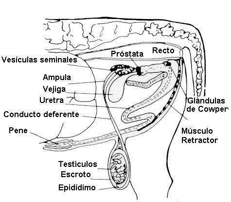 anatomia fisiologia prostata pdf 2