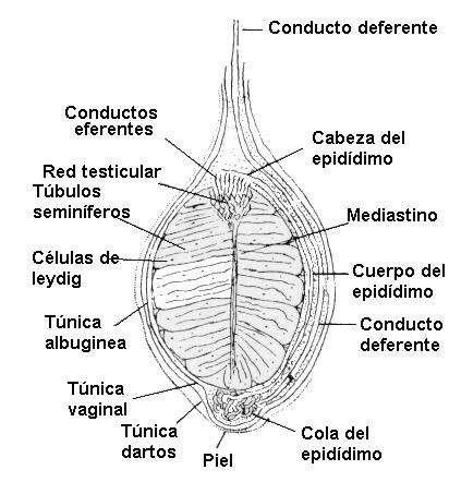 aparato reproductor masculino anatomia veterinaria
