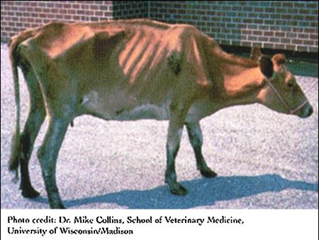 Como se hace la prueba de tuberculina en bovinos
