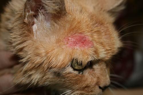 • Figura Nº2: Carcinoma de células escamosas: Lesión facial ulcerada. o Squamous cell carcinoma: ulcerated tissue in fatial area.