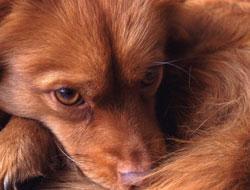 Getty Images El perro, que sufría problemas respiratorios, fue llevado al veterinario en Bedford Hills, Nueva York
